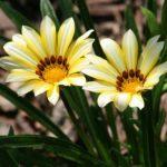 花壇にガザニアの苗を植え付ける際の間隔はどれくらい?