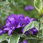 カタクリの花の英語での発音や読み、スペル(つづり)は?