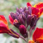 【オシロイバナの花は食べることはできるの?毒があるって本当?】