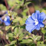 アメリカンブルーの花言葉の意味や由来とは?