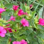 オシロイバナの花にはどんな色の種類がある?