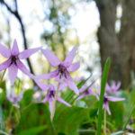 金剛山のカタクリの花の開花時期とおすすめスポットはどこ?