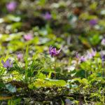 新潟県六日町のカタクリの開花時期は?おすすめ名所は坂戸山?