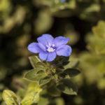 アメリカンブルーの開花時期はいつ頃?見頃の季節は?