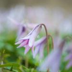 八海山のカタクリ開花時期とおすすめスポットはどこ?