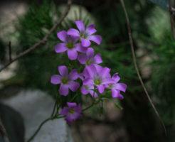 オキザリス 桃の輝き 植え替え