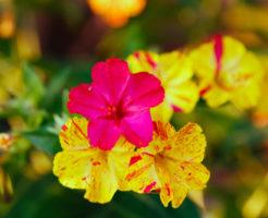 オシロイバナ 花色 遺伝