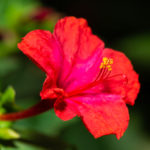 オシロイバナの花言葉の意味や由来とは?