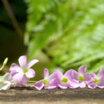 紫色のオキザリス 紫の舞の花言葉の意味や特徴は?