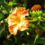 オシロイバナの英語での花言葉の意味や由来とは?