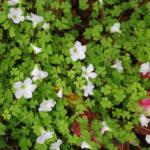 紫色の葉のオキザリスの種類はどれ?