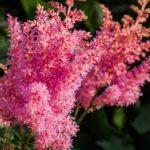 アスチルベの花が咲かない場合の原因と対処方法とは?