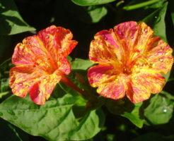オシロイバナ 白 花言葉