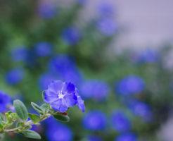 花 アメリカンブルー 育て方