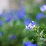 アメリカンブルーの剪定に最適な時期はいつ頃の季節?