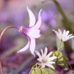 愛知県豊田の足助香嵐渓のカタクリの開花時期と見頃は?