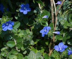 アメリカンブルー 鉢植え 育て方