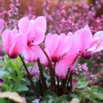 シクラメンの花が咲かない原因や対策法とは!?