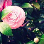 椿の花が花ごとポトッと落ちる理由は何!?