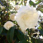 椿の花の特徴について。大きさはどれくらい!?