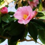 椿の鉢植えをベランダで育てる方法は!?