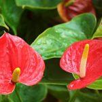 アンスリウムの花が緑色からピンクにならない?原因と対処方法とは?