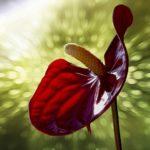 アンスリウム・フーケリーは何色の花?どんな種類があるの?