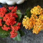カランコエ 八重咲きの育て方や手入れ方法のコツとは?