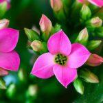 カランコエ パンダは何色の花?特徴は?