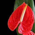 赤色のアンスリウムの品種とは?どんな種類があるの?
