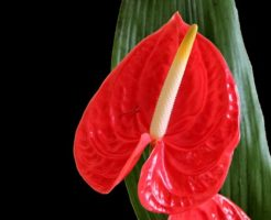 アンスリウム 赤 品種