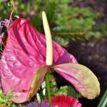 アンスリウムの花が咲かない場合の原因と対処方法とは?