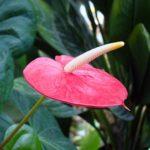 アンスリウムの花や葉っぱが小さい場合の原因と対処方法とは?