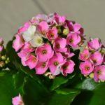 カランコエの花芽がつかない原因と対処方法とは?