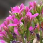 カランコエの花が少ない原因と対処方法とは?