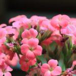 【カランコエ・プミラの葉が落ちる?原因と対策方法とは?】