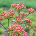 カランコエの花が咲かない原因と咲かせ方とは?