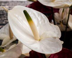 開店祝い 観葉植物 アンスリウム