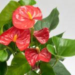 観葉植物のアンスリウムの剪定方法やその後の育て方とは?