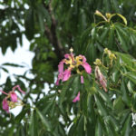 地植えで観葉植物のカポックを育てる方法やコツとは?