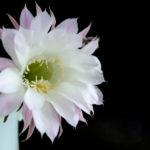 月下美人の花の花言葉とは!?怖い意味がある?