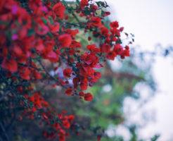植物 カポック 花言葉