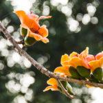 観葉植物のカポックの英語での読み方や発音、つづり(スペル)とは?
