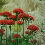 カランコエ エンゼルランプは何色の花?特徴は?