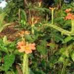 クロサンドの園芸を楽しもう!種から育てる方法やコツは?