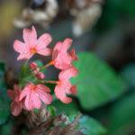 クロサンドラの花が咲かない原因と対処法とは?