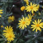 ユリオプスデージーの寄せ植え方法!相性がいい花は!?