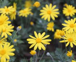 ユリオプスデージー 花 咲かない