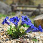 リンドウの植え替えの時期や方法について