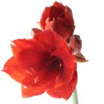 赤色アマリリスの種類の一覧まとめ